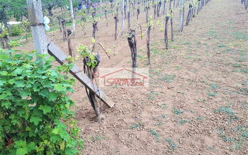 Pekná a udržiavaná vinica v Leviciach s ovocným sadom za vynikajúcu cenu