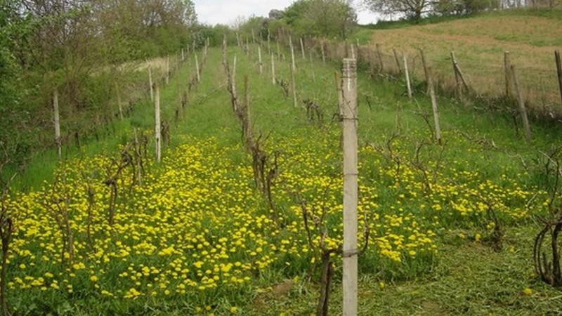 vinica v Leviciach, časť Malý Kiar